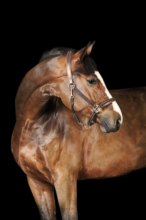 stable: bay horse stallion portrait on the black background