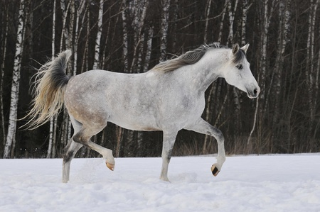 beautiful white Tersk horse runs trot on the snow photo