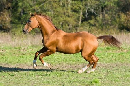 autumn horse: golden Don horse stallion runs gallop in summer