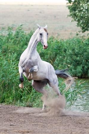 white akhal teke horse playing Stock Photo