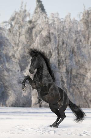 gelding: black Kladruber horse is rearing in winter Stock Photo