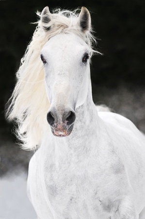 prompt: white Lipizzan horse runs gallop on the dark background