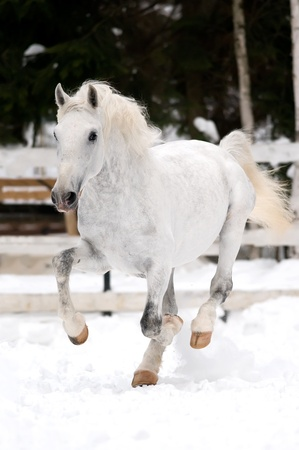 lipizzan horse: white Lipizzan horse runs gallop in winter season