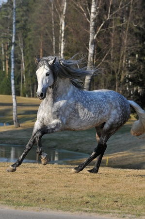 white andalusian stallion runs gallom on the meadow in summer Stock Photo - 9257248