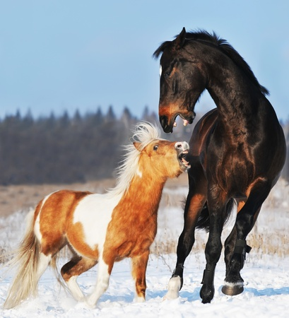 shetland pony: pony and horse are plaing in the winter