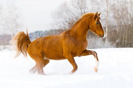red arabian stallion runs gallop in the winter photo