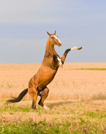 bay akhal-teke horse stallion rearing on the field Stock Photo - 9257246