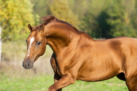 domestic horses: golden Don horse stallion runs gallop in summer