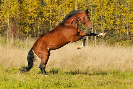 French trotter rearing on the field in autumn photo