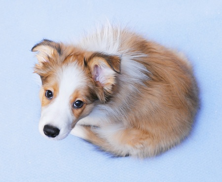 Sable color border collie puppy on the blue background photo