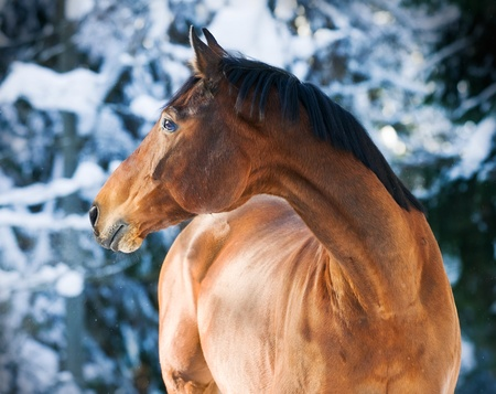 bay Trakehner horse portrait in blue forest background in winter Stock Photo - 9295592