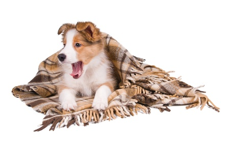 Sable color border collie puppy and plaid isolated on white photo