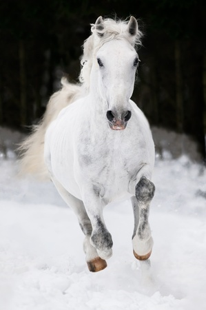 lipizzan horse: white Lipizzan horse runs gallop on the dark background