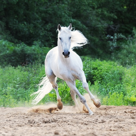 white Tersk horse runs on the sand photo