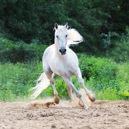 drafje: witte Tersk paard loopt op het zand