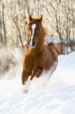 springpaard: rode Arabische hengst loopt galop in de winter Stockfoto