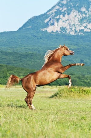 chestnut male: red arabian horse rearing on the meadow Stock Photo