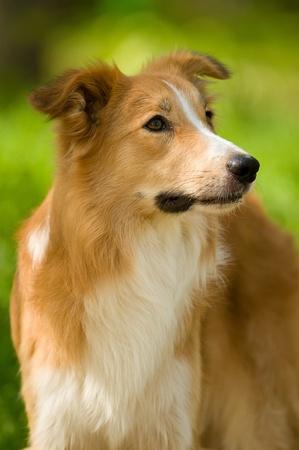 sable border collie dog portrait in summer photo