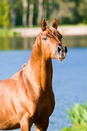 chestnut arabian horse stallion portrait in summer Stock Photo - 9617511