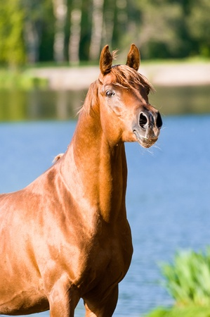 warmblood: chestnut arabian horse stallion portrait in summer Stock Photo
