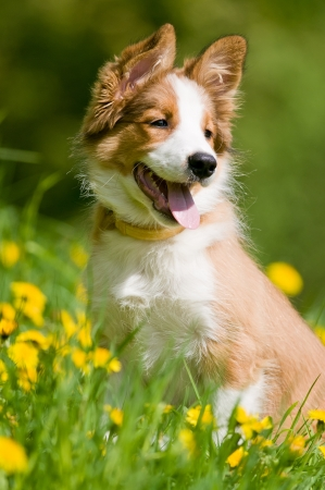border collie puppy sitting in the dandelions photo