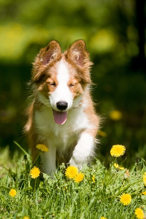 border collie puppy sitting in the dandelions Stock Photo - 9617512
