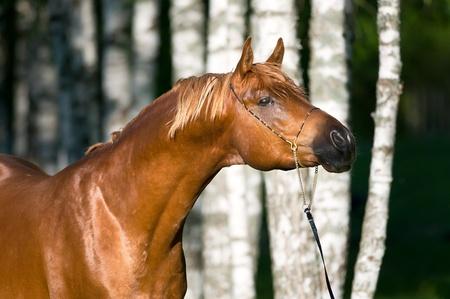 red arabian horse stallion portrait in summer photo