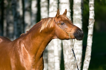 warmblood: red arabian horse stallion portrait in summer Stock Photo