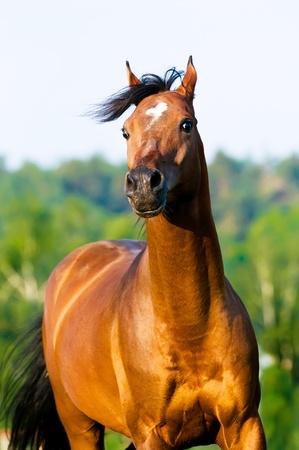 bay arabian horse runs gallop in summer