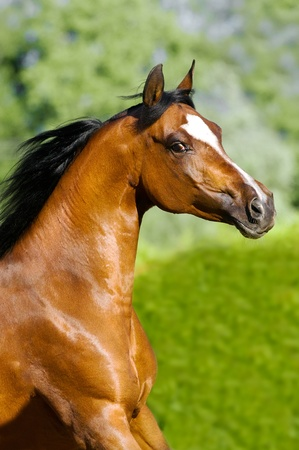 mare: Bah�a de caballo �rabe se ejecuta galope en verano