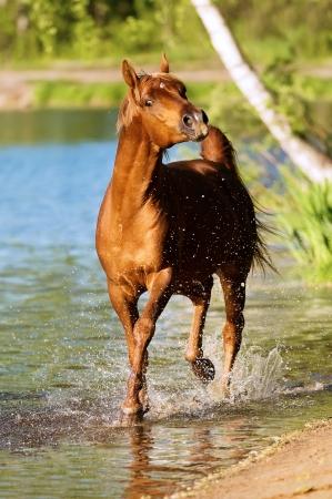 horse chestnuts: chestnut arabian horse stallion portrait in water