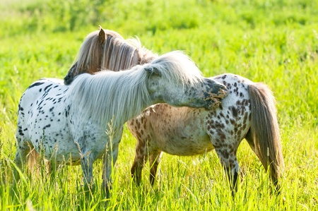 Two appaloosa ponyes grooming on the meadow in summer