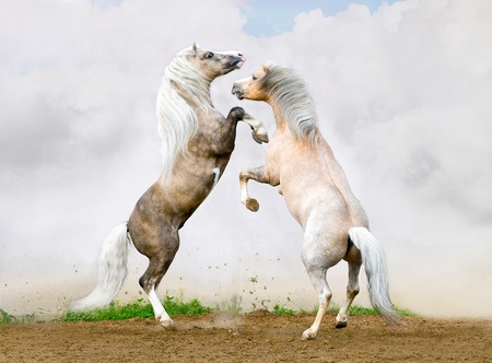 Two Welsh pony stallions battle on the sky background photo