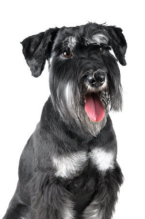 miniature people: Standard Schnauzer, 1 years old, isolated on white background