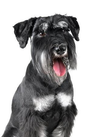 schnauzer: Standard Schnauzer, 1 years old, isolated on white background