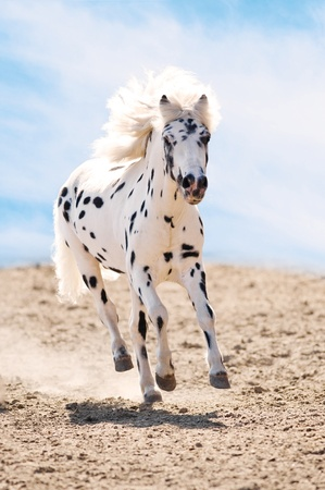appaloosa: Appaloosa pony runs gallop in dust on sky background