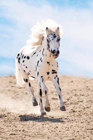 Appaloosa pony runs gallop in dust on sky background