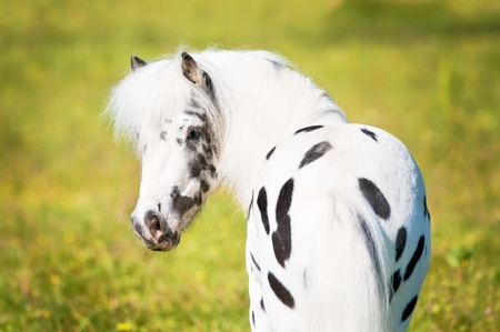 horses in field: beautiful little Appaloosa pony portrait in summer Stock Photo