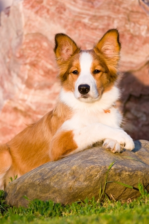 border collie: Portrait of young border collie puppy 6 months old in the sunset Stock Photo
