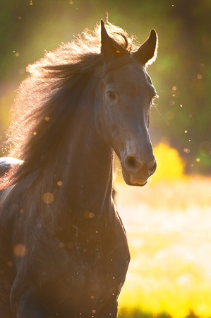 friesian: Black horse in sunset golden light portrait Stock Photo