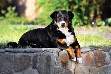 appenzeller: appenzeller sennenhund dog portrait in summer Stock Photo