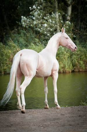 albino: Cremello Akhal-teke stallion portrait in summer
