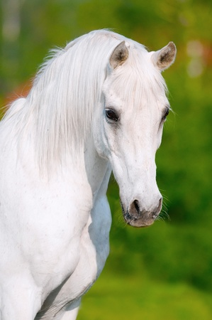 horses in field: white arabian horse portrait in summer day