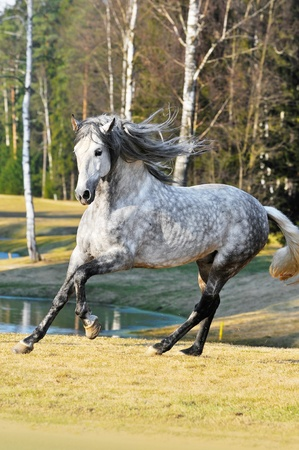 andalusian: white andalusian stallion runs gallom on the meadow in summer