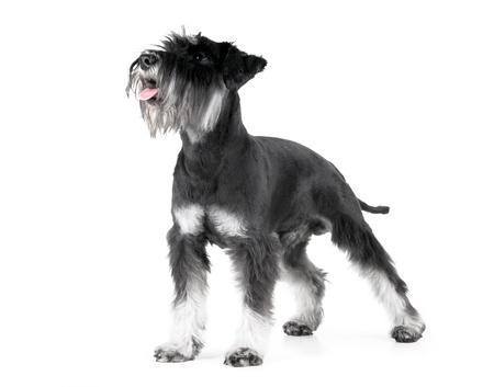 miniature breed: Schnauzer miniatura, 1 años de edad, aislada sobre fondo blanco