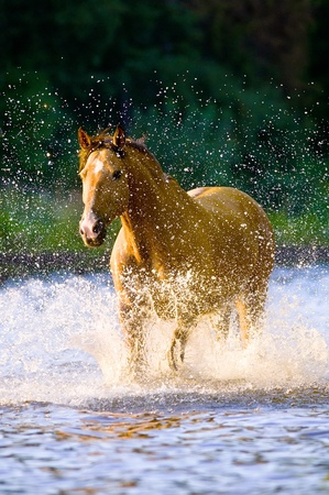 Lusitano horse runs gallop in water in summer time