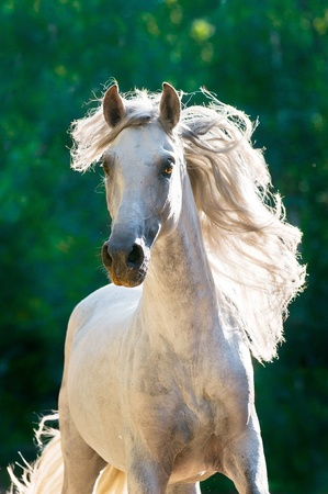 warmblood: White horse runs gallop front in dark, Andalusian