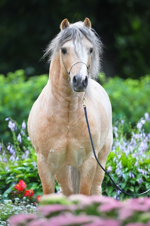Palomino Welsh pony portrait in beautiful flowers photo