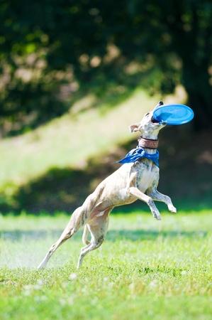 gevangen: whippet hond en vliegen frisbee Stockfoto