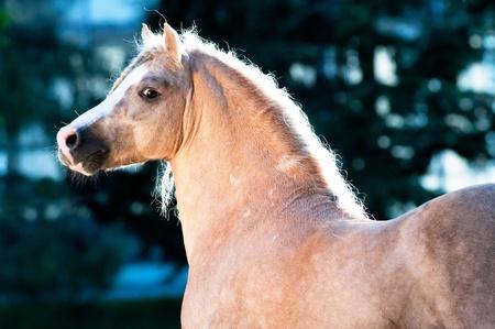 Palomino Welsh pony portrait on dark blue background
